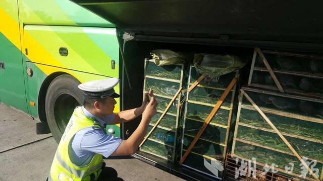 惊呆!客车非法运输野生动物 行李厢变动物园