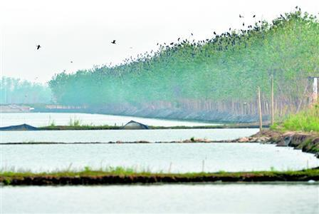 武汉沉湖湿地水位未降滩涂被淹 南归大雁难落地