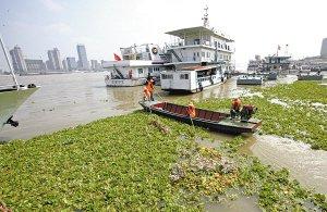 """水葫芦疯长""""霸占""""长江大片水面 破坏水下生态链"""