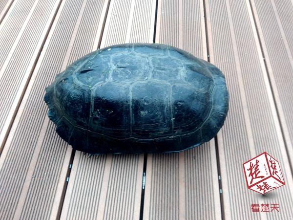 东湖捞起8斤重乌龟 八旬老人惊叹长这么大没见过