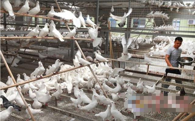 襄阳大学生返乡养鸽 年收入过亿
