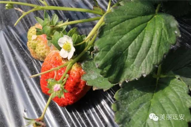 来远安摘草莓,看这条微信就够了!