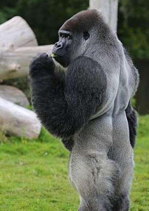 动物学家猜测,这只大猩猩是靠着平时观察管理员走路的方式,渐渐学习的