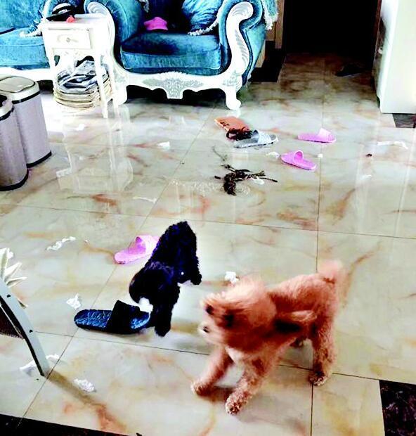 两只泰迪犬在小区中毒死亡 已发生几起警方介入