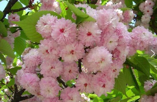 和樱花来个约会 道店樱花节即将盛大开放