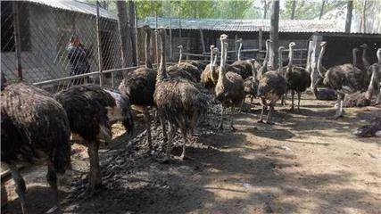 房县返乡青年高飞 养殖澳洲鸵鸟预计年入60万元