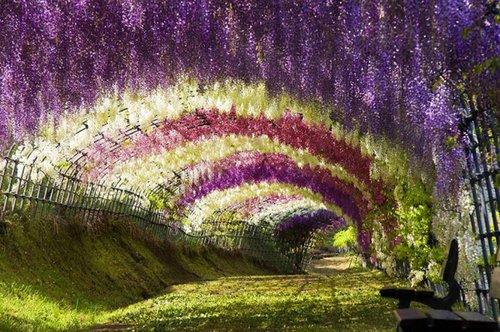 紫藤花的最佳视频场所了长大图片