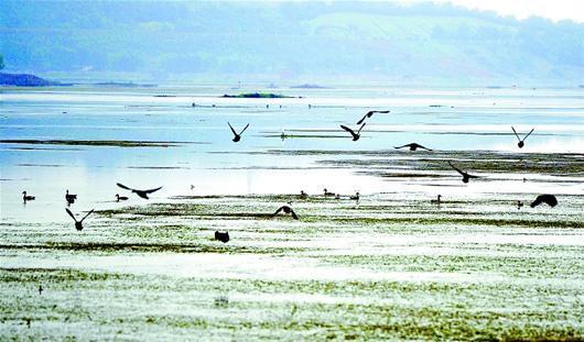十堰地区自然环境改善 丹江口大坝渐成鸟类天堂