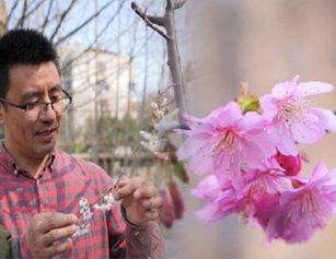 """这些""""从未见过的樱花"""",将来有望绽放武汉街头"""