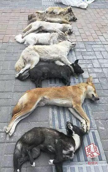 餐馆老板用弓弩猎杀8条土狗,狗主人发现后驾车将其撞停