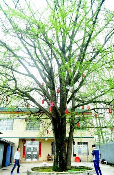 潜江一镇现200年银杏古树 观赏游客络绎不绝