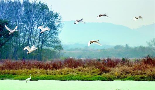 白天鹅迁徙京山越冬 已在京山生活一月有余