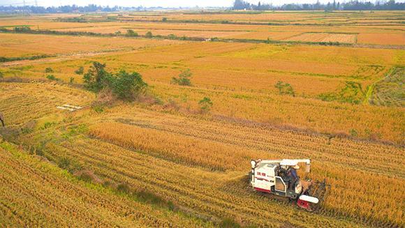 深秋时节 毛李镇的4万亩再生稻进入丰收季