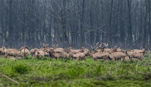 石首又添100多头新生小麋鹿 保护区容纳量将饱和