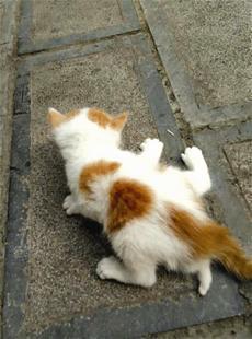 夷陵区现5条腿小幼猫 摸上去有骨头有肉