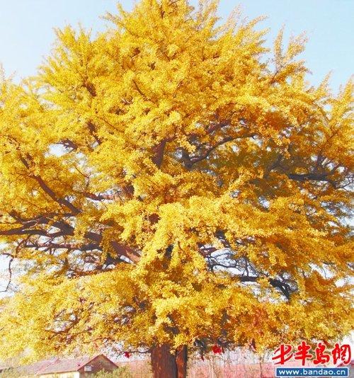 放眼望去 ,冬天凄凉与寒冷的感觉一扫而光,反而被银杏树这美丽的景致图片