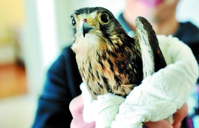市民路上捡受伤松雀鹰 系国家二级保护动物