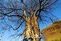 保康发现全国最老光叶榉树 树龄高达1300多年