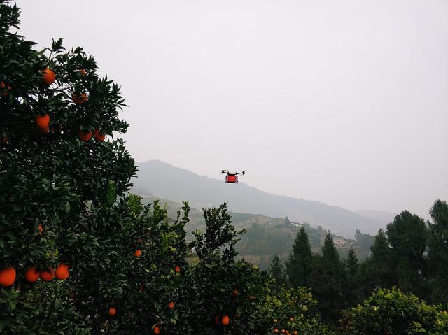 告别人背肩扛 京东探索用无人机运输秭归脐橙