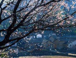 湖北麻城杏花盛满枝 仙女散花如梦似幻