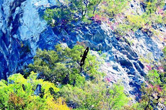 五峰后河保护区 工作人员意外拍到金雕翱翔
