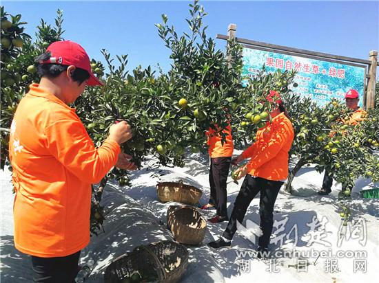 一个桔子卖10元 夷陵区打造精品柑桔促销售增