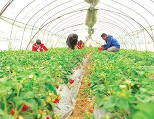 随州城郊草莓园 市民体验采摘的乐趣