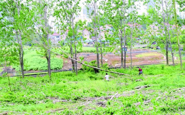 大堤边数百意杨树被砍引质疑 原是为了加固堤防