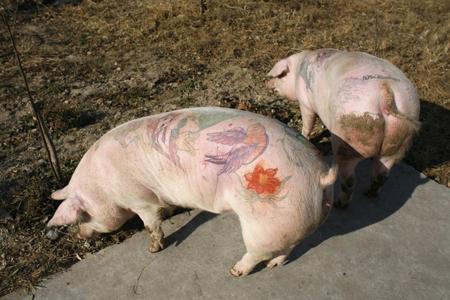 """梦想  楚镜 楚美人 财知道  德尔瓦将给小猪纹身看作是""""在小件艺术品"""