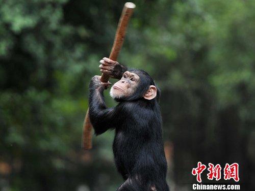 3月17日,广西南宁动物园的一只猩猩在饲养员示意下,灵活地翻转手中