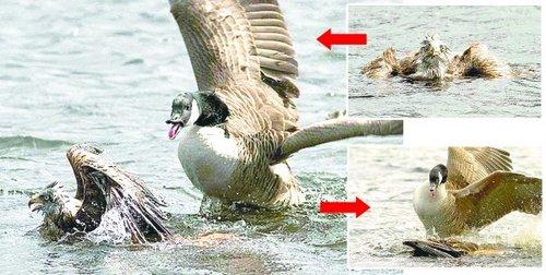 老鹰落湖样子很狼狈.鹅向老鹰发起攻击,老鹰拼命挣扎.鹅将老鹰按
