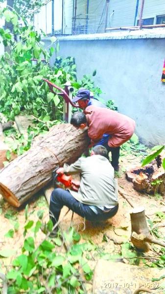 图为园林工人砍掉危树。(通讯员 章雪君 摄)