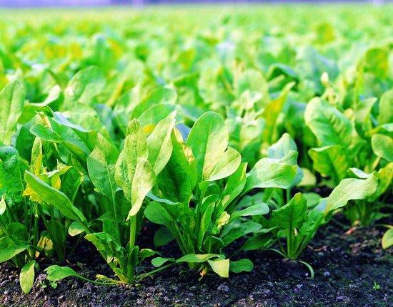 [谷雨]节气养生:谷雨宜食菠菜
