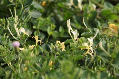 木犀草苷 金银花降火功效的关键物质