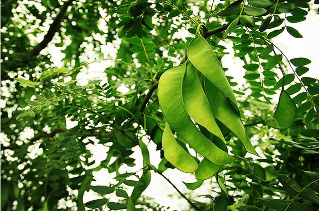 皂角树种植技术