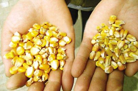 法国科学家:实验证明转基因玉米诱发肿瘤