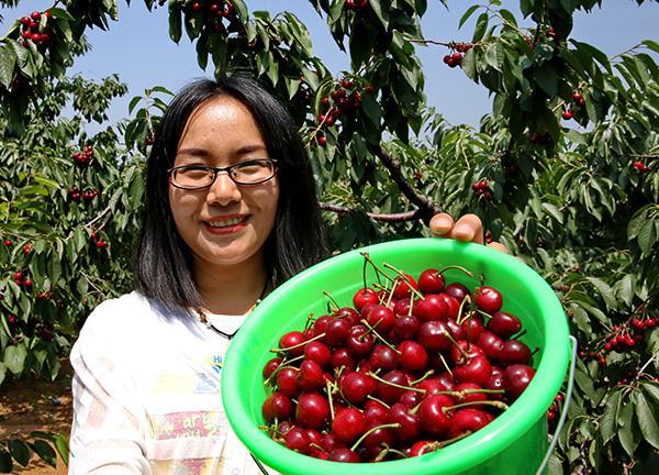 村果农在展示刚采摘的大樱桃.-河北秦皇岛 樱桃种植带动城郊农民