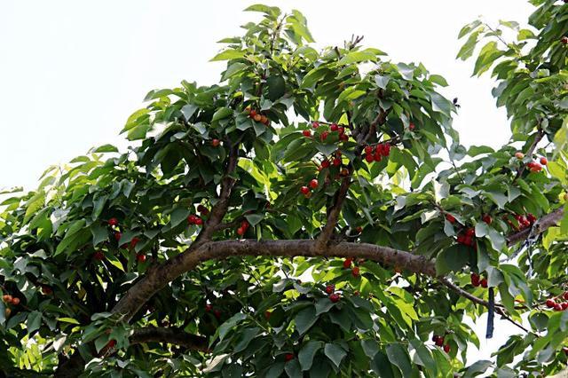 快来摘,灵寿的桑葚、樱桃熟了