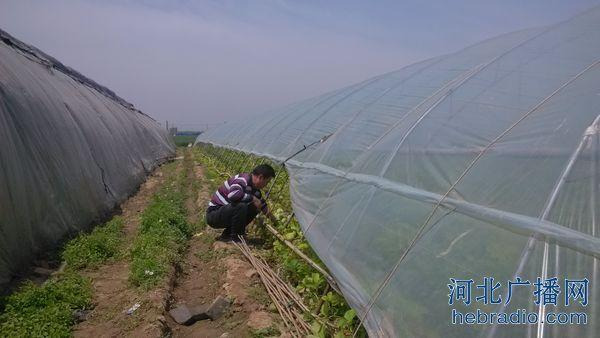 """北草莓产业影响有多大  记者:""""种的时候用打药吗?""""   卖草莓的刘大."""