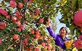 井陉:苹果产业助增收
