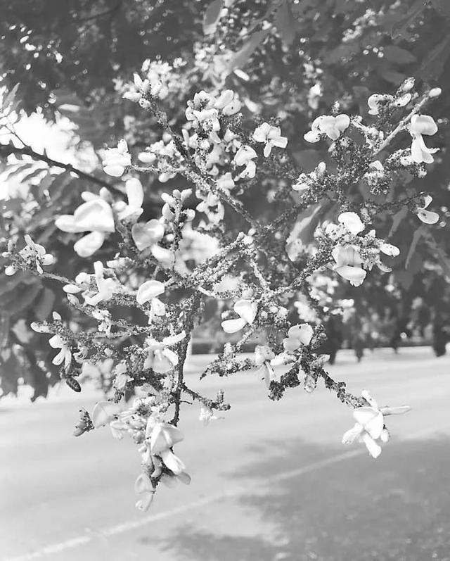 道旁槐树长满小虫 衡水市民不要摘食槐花!