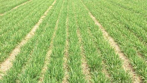今年河北省小麦苗情好于常年