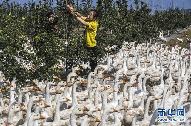 衡水景县:苹果园里养鹅忙