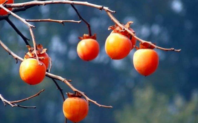 你知道吗?秋冬季节吃柿子不会流鼻涕!