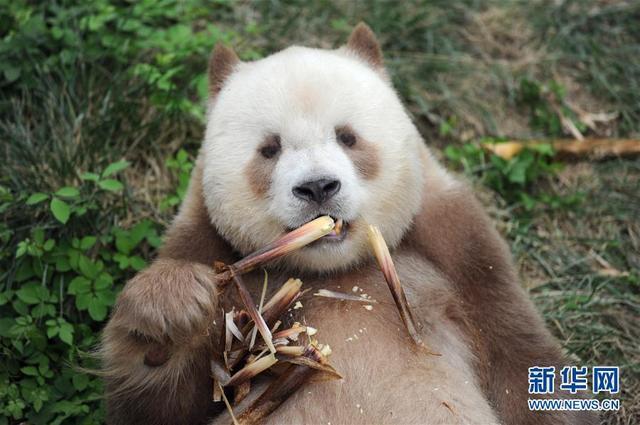9月7日,大熊猫七仔在陕西省珍稀野生动物抢救饲养研究中心内吃竹笋.