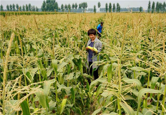 丰润:水果玉米助增收