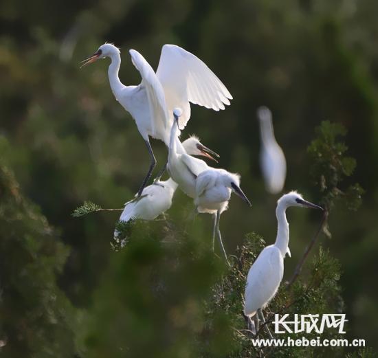 濒危野生动物白鹭落户迁安