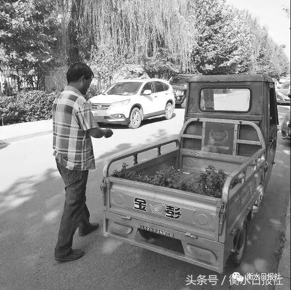 """安平县城街头数万盆鲜花""""遭劫"""""""