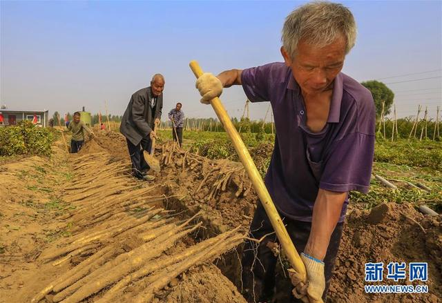 河北安平:小白嘴白山药唱响农民致富歌