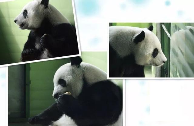 石家庄动物园:寒潮来袭 熊猫猴子住上空调房
